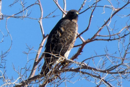 Immature Red-Tailed Hawk, Buteo jamaicensis, New Mexico