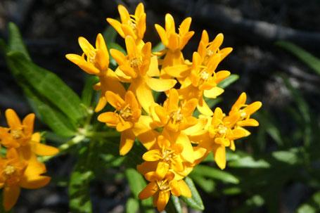 Butterfly Milkweed, Asclepias tuberosa, New Mexico