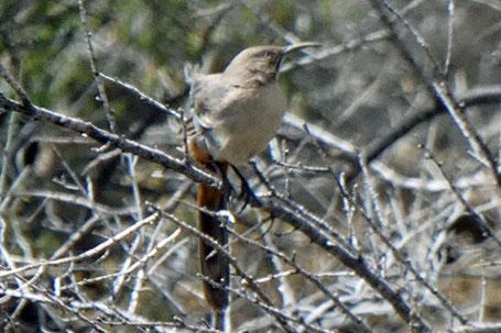 Crissal Thrasher, Toxostoma crissale, New Mexico