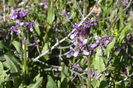 Purple Mustard, Blue Mustard, Chorispora tenella, New Mexico