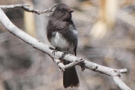 Black Phoebe, Sayornis nigricans, New Mexico