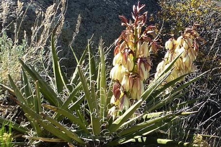 Banana Yucca, Yucca baccata, New Mexico