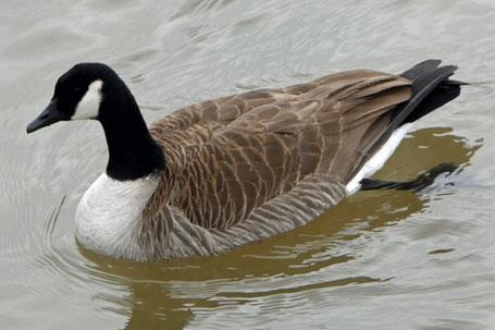 Canada Goose, Branta canadensis, New Mexico