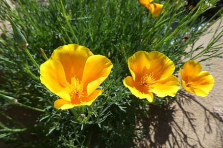 California Poppy, Eschscholzia californica, New Mexico