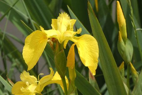 Pale Yellow Iris, Yellow Flag, Iris pseudacorus, New Mexico