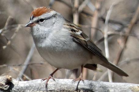 American Tree Sparrow, Spizelloides arborea, New Mexico