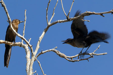 Great-Tailed Grackle, Quiscalus mexicanus, New Mexico