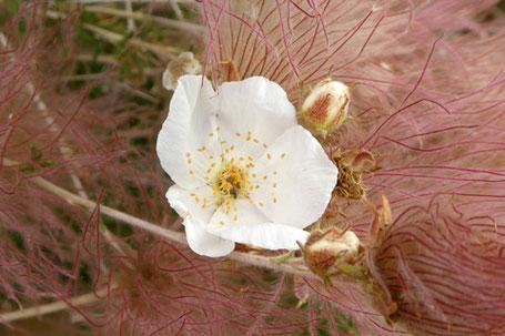 Apache Plume, Fallugia paradoxa, New Mexico
