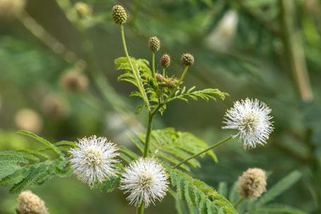 Prairie Bundleflower, Desmanthus illinoensis, New Mexico