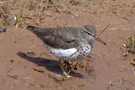 Spotted Sandpiper, Actitis macularius, New Mexico