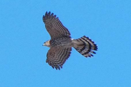 Juvenile Northern Goshawk, Accipiter gentilis, New Mexico