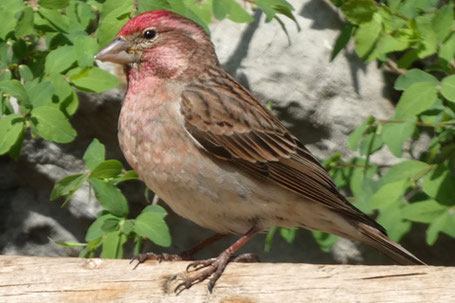 House Finch, Haemorhous mexicanus, New Mexico