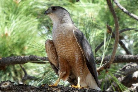 Cooper's Hawk, Accipiter cooperii, New Mexico