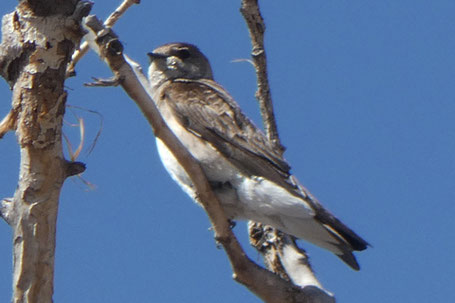 Northern Rough-Winged Swallow, Stelgidopteryx serripennis, New Mexico