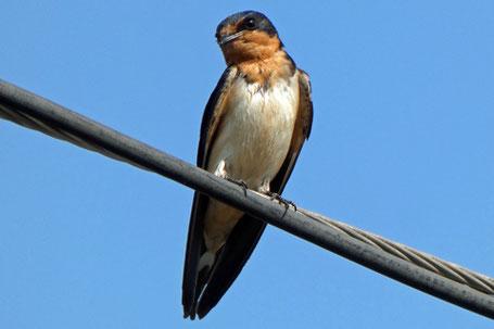Barn Swallow, Hirundo rustica, New Mexico