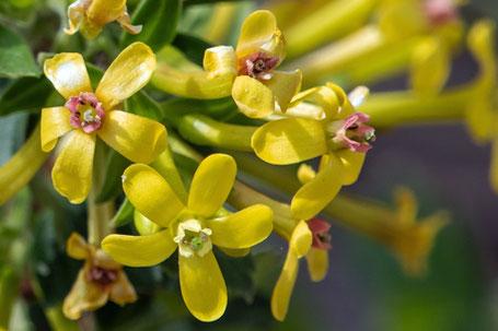 Golden Currant, Ribes aureum, New Mexico