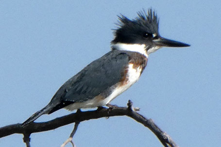 Belted Kingfisher, Megaceryle alcyon, New Mexico