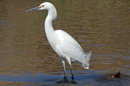 Snowy Egret, Egretta Thula, New Mexico