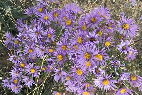 Purple Aster, Dieteria, New Mexico