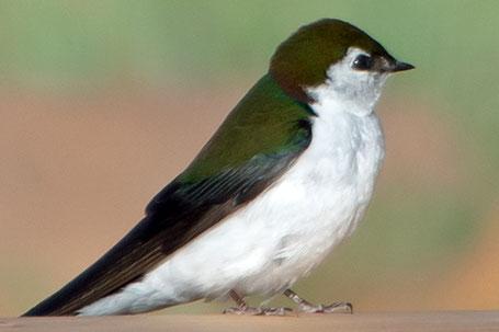 Violet-Green Swallow, Tachycineta thalassina, New Mexico