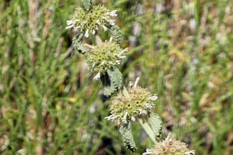 Cutleaf Germander, Lacy Germander, Teucrium laciniatum