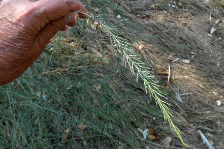Asparagus officinalis, New Mexico