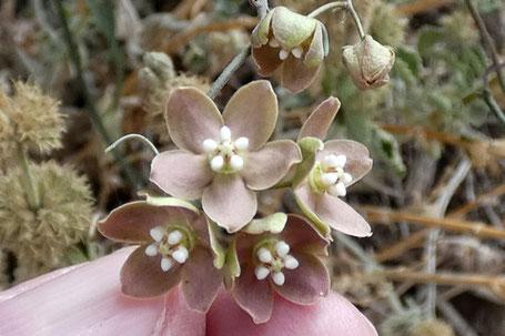 Climbing Milkweed, Funastrum cynanchoides, New Mexico