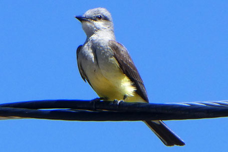 Western Kingbird, Tyrannus verticalis, New Mexico