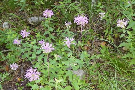 Bergamot, Bee Balm, Monarda fistulosa, New Mexico
