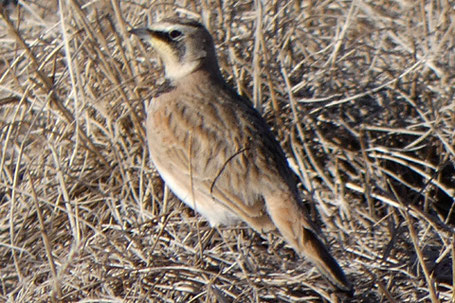 Horned Lark, Eremophila alpestris, New Mexico