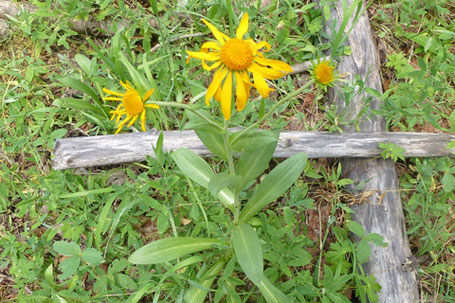Leafy Arnica, Arnica chamissonis, New Mexico