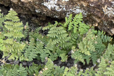 Lip Fern, Cheilanthes, New Mexico