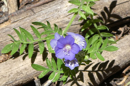 Jacob's Ladder, Polemonium foliosissimum, New Mexico