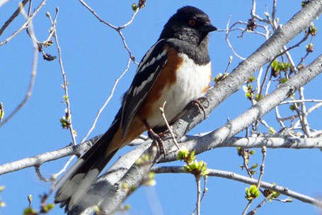 Spotted Towhee, Pipilo maculatus, New Mexico