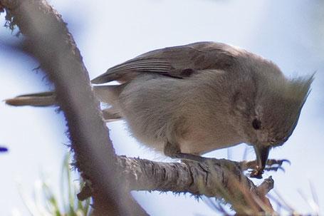 Mountain Chickadee, Poecile gambeli, New Mexico