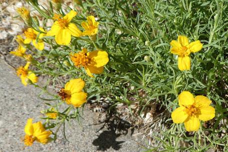 Plains or Rocky Mountain Zinnia, Zinnia grandiflora