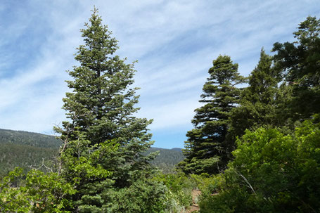 Fir, Abies, or spruce, Picea, New Mexico