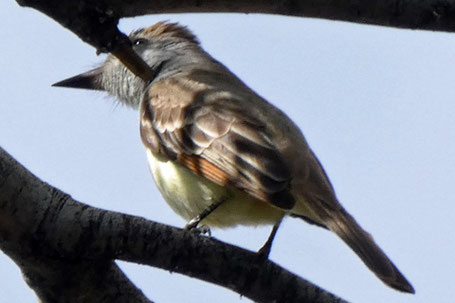 Ash-Throated Flycatcher,   Myiarchus cinerascens, New Mexico