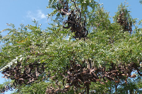 Black Locust, Robinia pseudoacacia, New Mexico