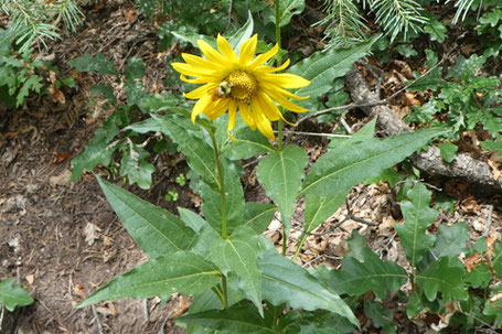 Parry's Nodding Sunflower, Helianthus quinquenervis, New Mexico