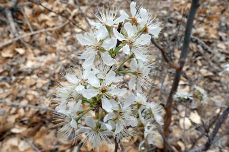 Bitter Cherry, Prunus emarginata, New Mexico