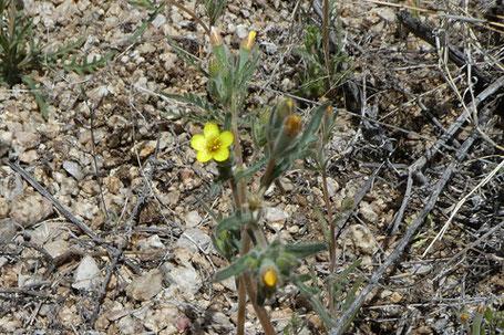 Whitestem Blazingstar, Mentzelia albicaulis, New Mexico