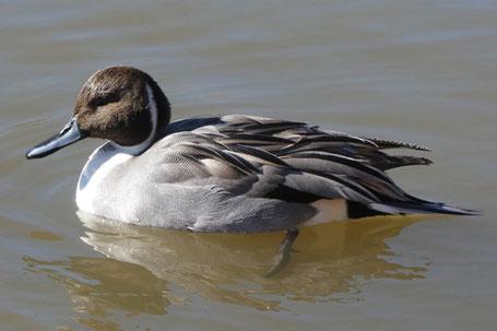 Mallard, Anas platyrhynchos, New Mexico