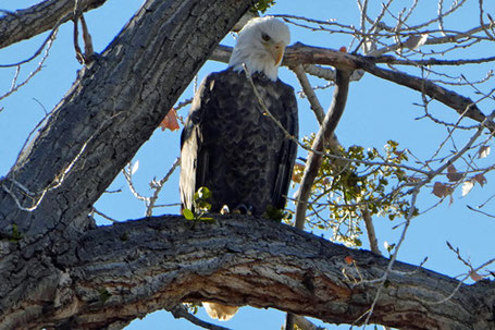 Bald Eagle, Haliaeetus leucocephalus, New Mexico