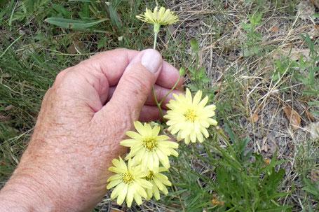 Small-Flower Desert Chicory, Pyrrhopappus pauciflorus, New Mexico