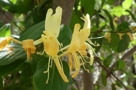 Japanese Honeysuckle, Lonicera japonica, New Mexico