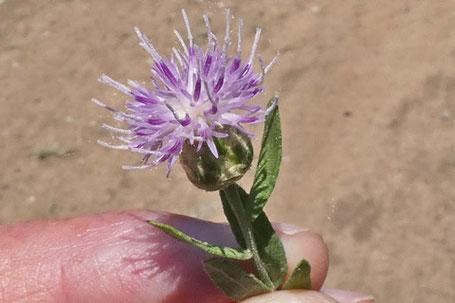 Russian Knapweed, Rhaponticum or Acroptilon repens, New Mexico