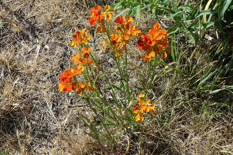 Western Wallflower, Erysimum capitatum, New Mexico