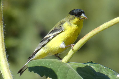 Lesser Goldfinch, Spinus psaltria, New Mexico