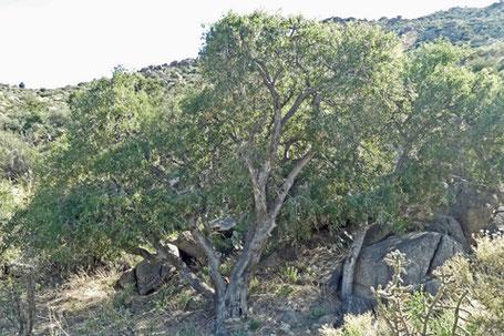 Netleaf Hackberry, Celtis reticulata, New Mexico